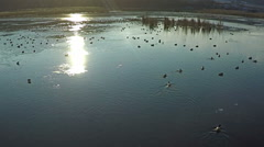 AERIAL view of flying ducks in the lake, SLOW Motion. Stock Footage