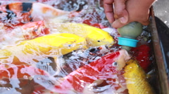 Close up hand feeding the koi fish in pond by milk bottle Stock Footage