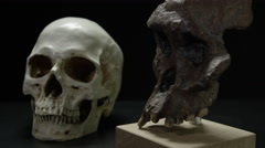 Caveman Skull - Australopithecus and Evolution Stock Footage
