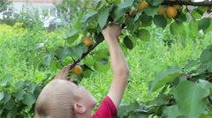 Hands pluck apricots Stock Footage