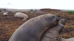 Two Female Elephant Seals Play Pacific Coast California USA Stock Footage