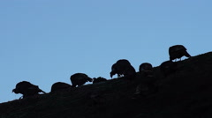 Wild Turkeys Move Down the Hill Before Sunrise Feeding Stock Footage
