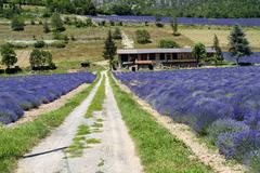 Fields of lavender in Piedmont (Demonte) - stock photo