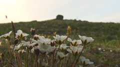 Small White Flowers in the Tundra Stock Footage