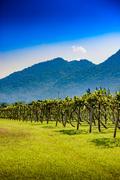 Vineyard Sunrise at Nakhon Ratchasima Province Stock Photos