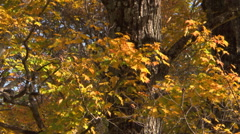 Zoom-out to rough tree trunks and quivering golden leaves in an autumn grove Stock Footage