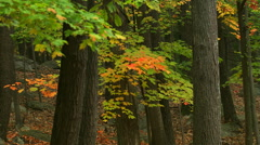 Gray trunks and lacy branches in autumn colors seen as camera moves right - stock footage