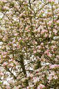 Leafy and Lush Flowering Apple - stock photo
