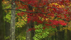 Vivid red foliage on a branch in the foreground of an autumn wood Stock Footage