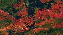 Bright red foliage in front of dark trunks, green leaves entering foreground Stock Footage