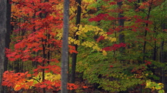 Mixed-species saplings in varied autumn colors seen as camera moves left past - stock footage