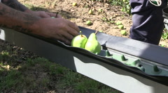 Pear harvest Stock Footage