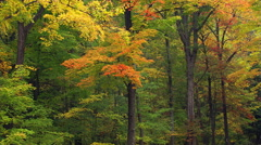 Grove in autumn colors, viewed past foreground branches as camera moves right Stock Footage