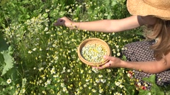 Female hands pick camomile herb flower blooms to wicker dish. Zoom in. 4K Stock Footage