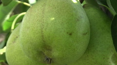 pear tree - stock footage