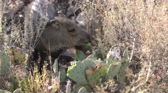 Collared Peccary ie Javelina Feeding on Cactus in American Southwest Stock Footage