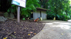 Roosters and Chickens Look For Food Stock Footage