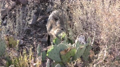 Collared Peccary aka Javelina Eating Cactus Plant in Desert Stock Footage