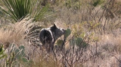 Collared Peccary aka Javelina in Chihuahuan Desert Eating Prickly Pear Cactus Stock Footage