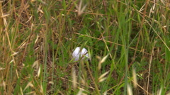 Close-up of ball in tall weeds with zoom to golfer hitting it onto green near Stock Footage