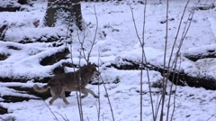4k Running wolf white snow winter landscape Stock Footage