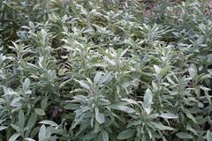 Salvia officinalis - stock photo