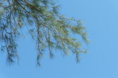 Branch of pine Stock Photos