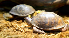 Two Eastern Box Turtles in cage 4k Stock Footage