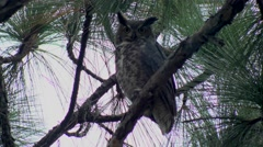 Owl in pine tree, flies away, 4K - stock footage