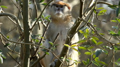 Patas Monkey, Monkey, Primate Stock Footage