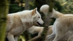 Wolf, Grey Wolf, Gray Wolf, Pack Stock Footage