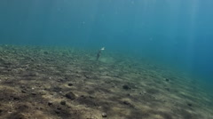 Triggerfish in sand at bottom in search of food. Stock Footage