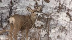 North American Mule Deer Buck in Winter in 4K Stock Footage