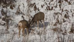 Mule Deer Bucks Fighting and Sparring in Snow - stock footage
