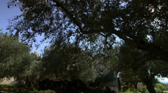Garden of Gethsemane on Jerusalem's Mount of Olives Stock Footage