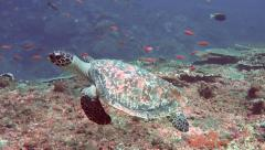 Hawksbill sea turtle swimming over coral reef Stock Footage