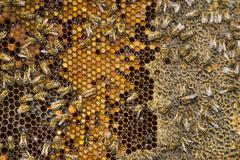 Bees collect honey over honeycomb on a background of wax Stock Photos