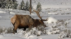 Rocky Mountain Elk Bull Feeding at Yellowstone National Park Stock Footage