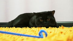 British black cat is playing with a toy - stock footage