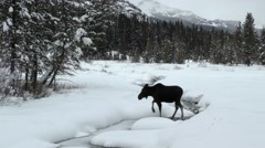 Moose in Winter Scene with Snow at Yellowstone National Park Stock Footage
