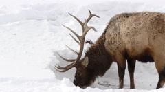 Trophy Bull Rocky Mountain Elk Foraging in Winter Deep Snow Stock Footage
