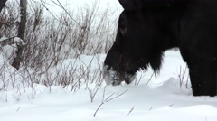 Cow Moose Feeding in Deep Snow in Winter in Yellowstone Stock Footage