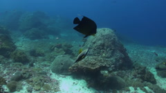 Butterflyfish and angelfishes swimming on a reef. Stock Footage