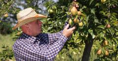 Gardener Looking Pears Examines Orchard Harvest Fresh Production Healthy Fruits Stock Footage