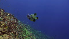 Tuna pufferfish and shark in one frame in blue sea Stock Footage