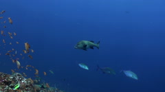 Tuna pufferfish and shark in one frame in blue sea - stock footage