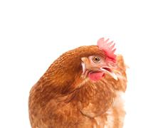 brown chicken hen standing isolated white background use for farm animals and - stock photo