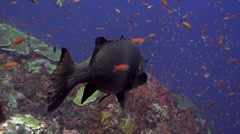 Big sweetlips fish and  cleaner fish on the reef. Stock Footage
