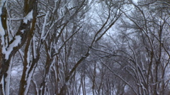 Tilt-down from snowy leafless trees Stock Footage