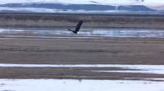 Tracking a flying Bald Eagle to a landing in a marshy field Stock Footage